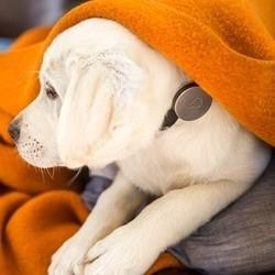 collier whistle santé chien