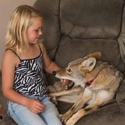 un coyote se prend pour un chien