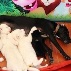 une chienne adopte des lionceaux