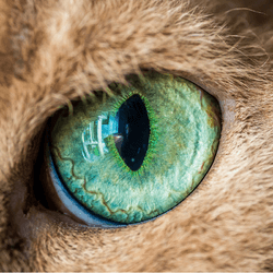 oeil chat