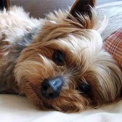 maitre tue chien yorkshire