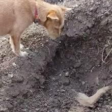 Ce chien se tient devant de la tombe de son frère, ce qu'il fait bouleverse le monde entier (Vidéo)