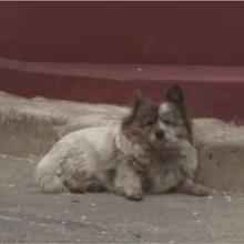 Abandonnée il y a plus de 10 ans, cette chienne attend toujours son maître au même endroit