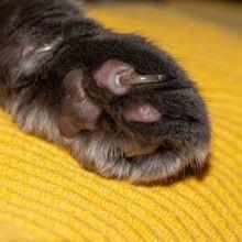 Que faire en cas de griffe incarnée chez le chat ?