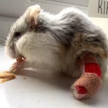 Ce Hamster aventurier a reçu le plus chouette cadeau après s'être blessé à la patte