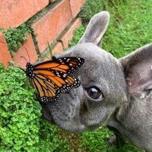 Un Bouledogue français et un papillon filent le parfait amour, et ça réchauffe le cœur