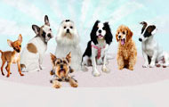 Petits chiens de race