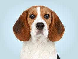 Petit chien Beagle