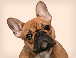 Petit chien Bouledogue français