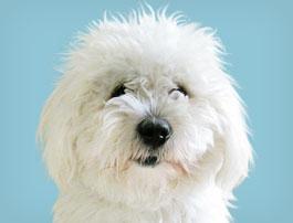 Petit chien Coton de Tuléar