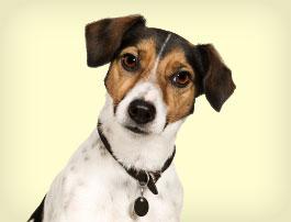 Petit chien Jack Russell Terrier