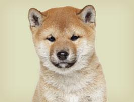 Petit chien Shiba Inu