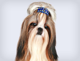 Petit chien Shih Tzu