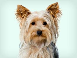 Petit chien Yorkshire Terrier