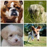 Quelle race de chien êtes-vous ?
