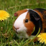 Le Cochon d'Inde en 10 questions