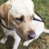 Connaissez-vous bien les chiens guides ?