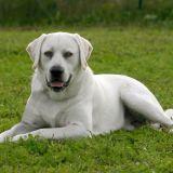 Connaissez-vous bien le Labrador ?