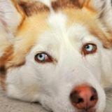 Quizz : de quelle race de chien s'agit-il ?