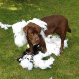 Quizz : Connaissez-vous bien le Labrador Retriever ?