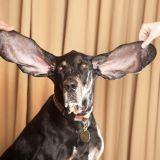 Quizz : Connaissez-vous les plus incroyables records détenus par les chiens ?