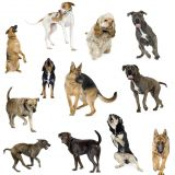 Devinez à quelle race de chien j'appartiens