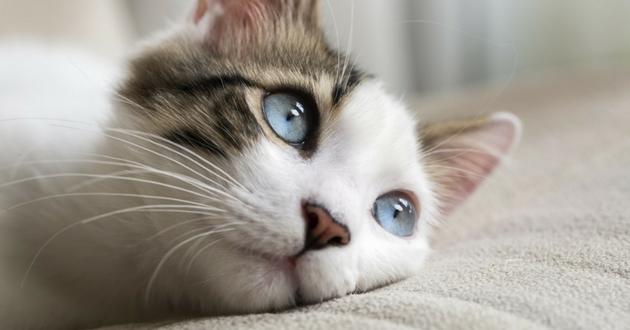 chaton gris blanc couché sur couette