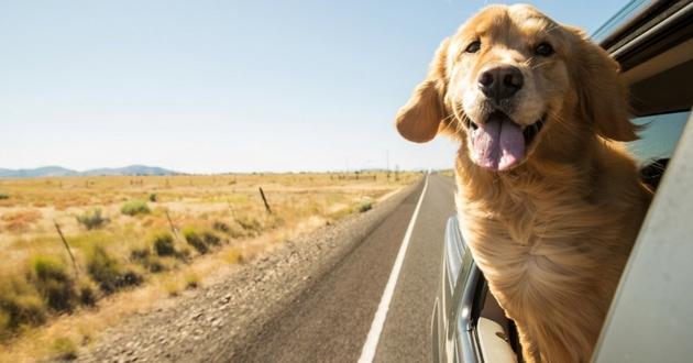 transporter chien