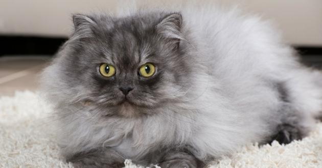 decouvrir chat persan