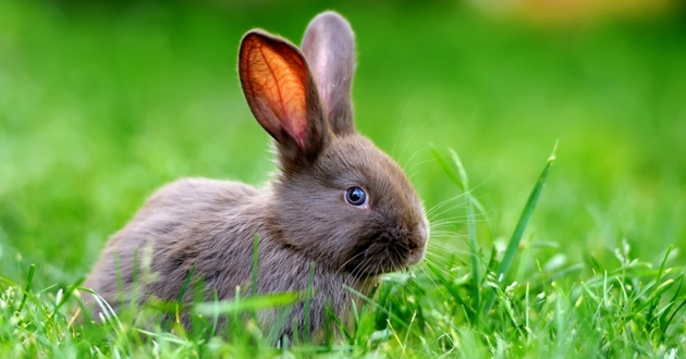 quizz rongeurs lapin hamster cochon d'inde