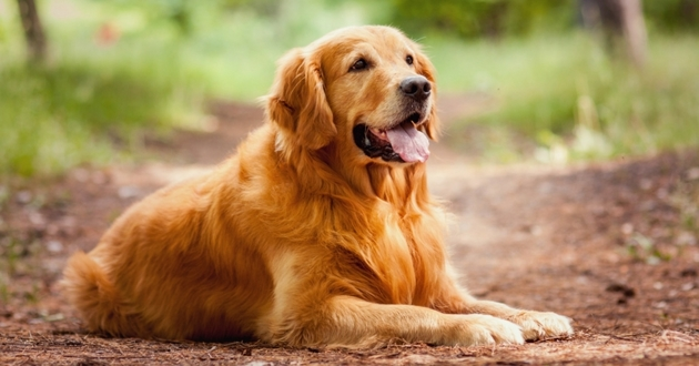 decouvrir golden retriever