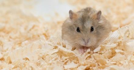 Connaissez-vous bien le hamster ?