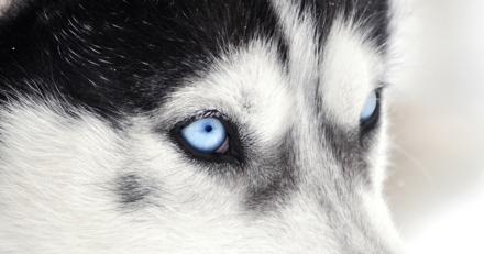 Quizz spécial experts : reconnaîtrez-vous ces races de chiens à leur regard ?
