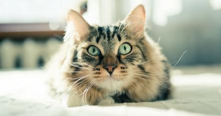 Quizz spécial experts : reconnaîtrez-vous ces races de chats à leur regard ?