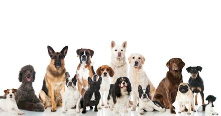 Quizz : Etes-vous incollable sur les races de chiens ?