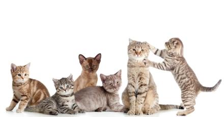 Quizz : Etes-vous incollable sur les races de chats ?