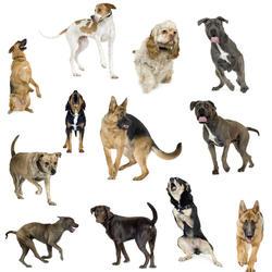 decouvrir races chiens