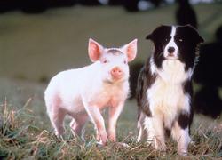 Quel est le nom du Border Collie aux côtés de Babe le cochon ?
