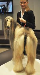 De quelle race est  Alabina, chienne de 4 ans, grande championne de concours canin ?