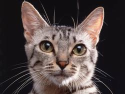 Le chat le plus cher du monde était un :