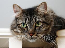 Pour se protéger de la lumière, le chat peut rétrécir ses pupilles