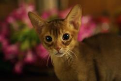 Les oreilles du chat sont contrôlées par :