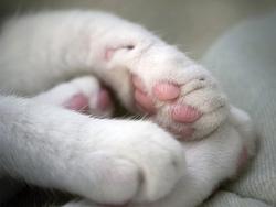Les coussinets du chat sont dotés de récepteurs tactiles