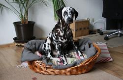 Votre chien tourne dans son panier plusieurs fois avant de s'installer