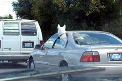 Votre chien a toujours la tête à la fenêtre en voiture