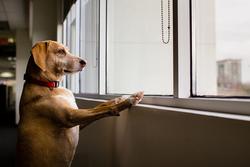 Votre chien vous attend quand vous rentrez du travail