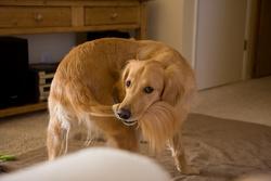 Votre chien essaye toujours d'attraper sa queue