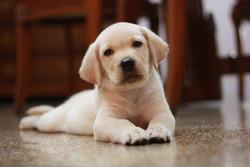 Le Labrador est originaire :