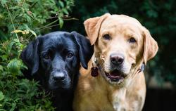 Le Labrador vit en moyenne :