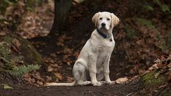 La taille du Labrador est de :